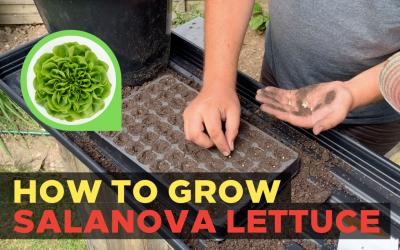 How to grow Salanova Lettuce (Part 1)