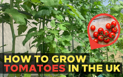 How to Grow Tomatoes in the UK