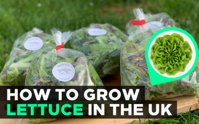 How to Grow Lettuce in the UK