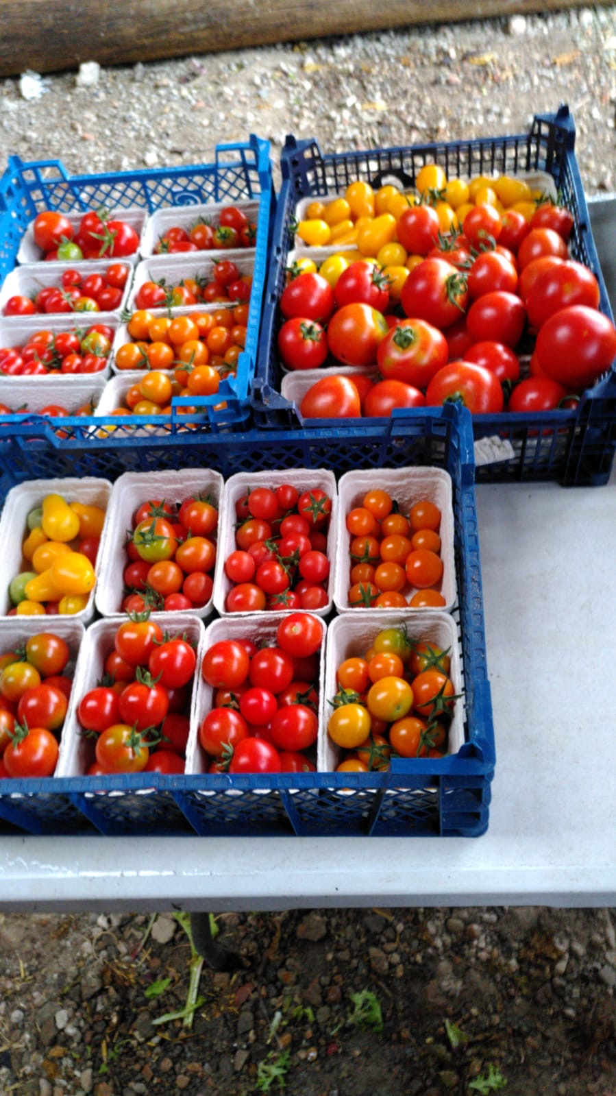 Organic Tomatoes Punnet